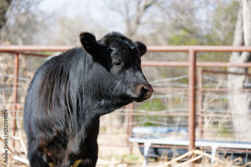 фотография  Cute black farm calf shows agriculture lifestyle during spring season on cattle farm