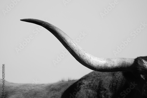 Black and white simple cattle image of Texas Longhorn horn close up, using rural sky as backdrop.