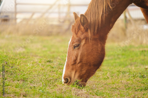 Brown horse grazing on green grass in farm pasture, on bright and cheerful day.