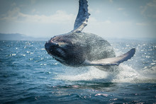 The Humpback Whale Photographed In The Waters Of Samana Peninsula, Dominican Republic