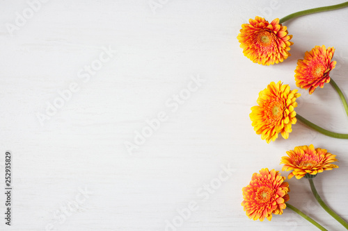 Background festive for congratulations with flowers gerberas