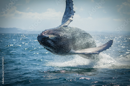 Fotografia, Obraz The humpback whale photographed in the waters of Samana peninsula, Dominican Rep