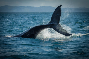 FototapetaThe humpback whale photographed in the waters of Samana peninsula, Dominican Republic