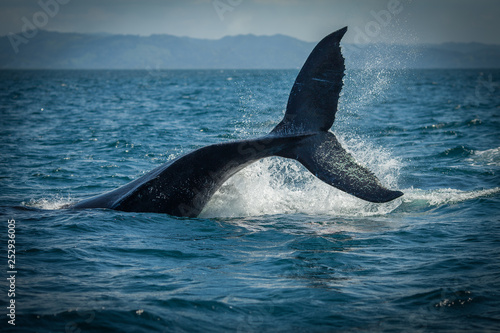 Cadres-photo bureau Dauphin The humpback whale photographed in the waters of Samana peninsula, Dominican Republic