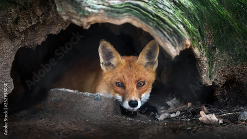 Valokuva Wild young red fox (vulpes vulpes) vixen scavenging in a forest