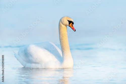 Poster Blanc Swan on blue lake water in sunny day