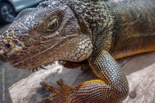 Fotografija  Iguana isolated, wildlife, Munduk, north of Bali, Indonesia