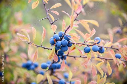 Photo  Blackthorn (Prunus spinosa) berries