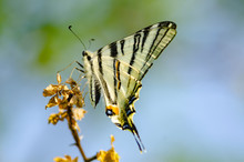Scarce Swallowtail (Iphiclides...
