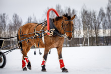 Beautiful Horse. Drawn Into A Traditional Russian Harness With A Bell, In The Winter In The Snow.