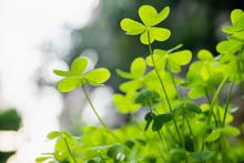 Green Clover Field Green Lucky...