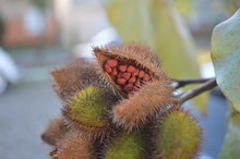 Urucum Seeds