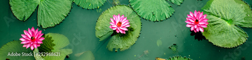 Poster de jardin Nénuphars Three Pink water Lillys from top view