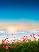 Beautiful Cosmos Flowers In Garden With Foggy Winter Sunrise In Mountains.