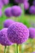 Leinwandbild Motiv 丸く満開に咲いたアリウムギガンジューム
