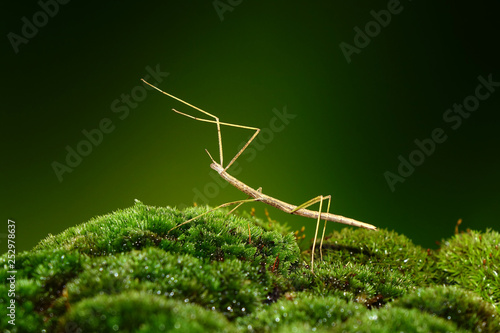 Stick insect or Phasmids (Phasmatodea or Phasmatoptera) also known as walking stick insects, stick-bugs, bug sticks or ghost insect Fototapeta