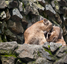 Cute Mountain Lioness (Puma Concolor) Also Commonly Known As The Cougar, Mountain Lion, Panther, Or Catamount And Kitten On A Rocky Ledge. Animal And Wildlife Concept. Observation And Conservation