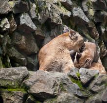 Cute Mountain Lioness (Puma Co...