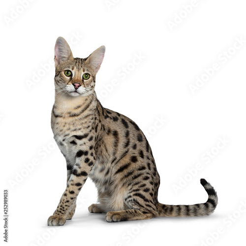 Recess Fitting F1 Cool young adult Savannah F1 cat, sitting side ways. Looking beside camera with green eyes. Tail behind body. Isolated on white background.
