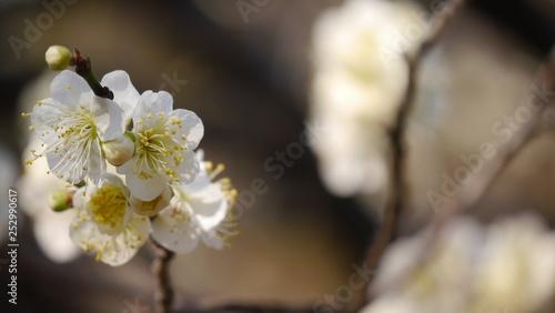 白い梅の花(接近) Canvas Print