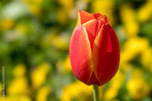 Photo  Single Tulip