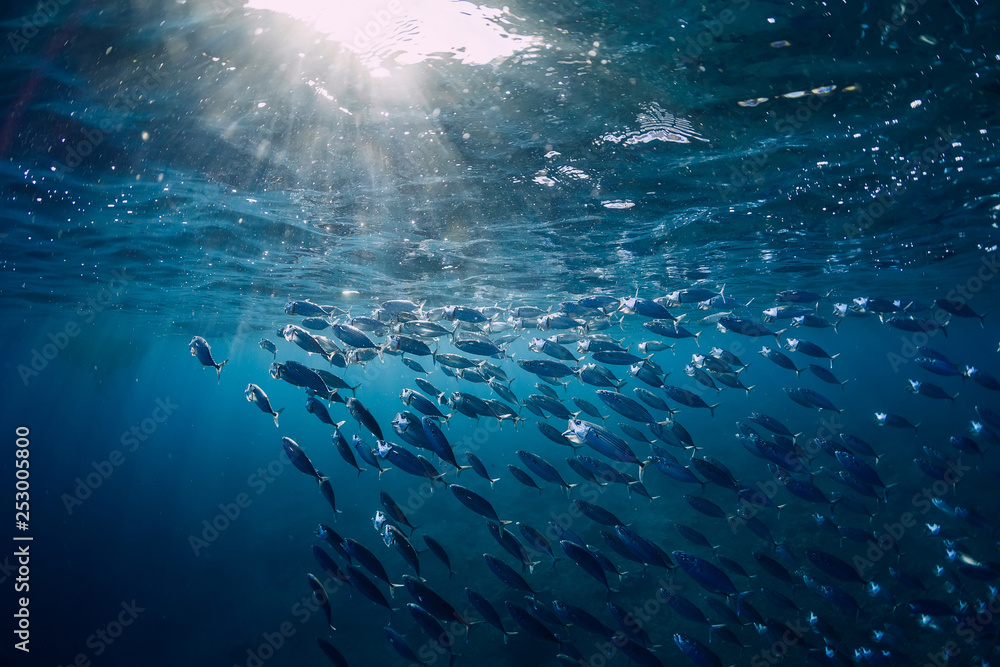 Fototapety, obrazy: Underwater world with school in blue ocean and sun light