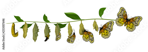 Fotografie, Obraz Life cycle of butterfly from larva to adult insect