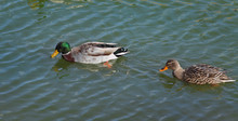 Adult Ducks In River Or Lake Water