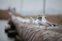 Wild Gulls Sit On The Shore Of A Reservoir On A Rusty Pipe.