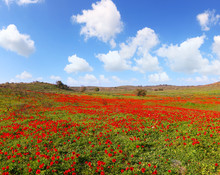 Red Wild Flowers Blossom. Red ...