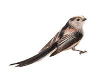 Long-tailed Tit, Aegithalos Caudatus, Isolated On White Background