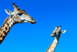 Two cute, young giraffes chewing on gras, isolated on blue sky background.