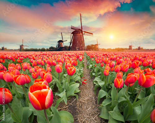 Foto op Plexiglas Zalm Dramatic spring scene on the tulip farm. Colorful sunset in Netherlands, Europe.
