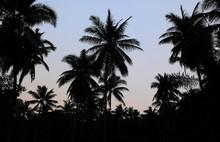 Silhouette Of Palm Trees Over Dark Sky