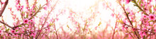 Background Of Spring Blossom T...