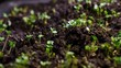 A seedling growing from the dirt time lapse video. Microgreens healthy food with vitamins.