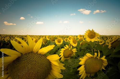 Fotografia  sunflower