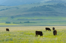 Grass-fed Cows On The Meadows Of Montana Ranch, USA