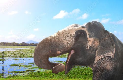 Photo sur Toile Amsterdam Elephant and lily flowers on a lake, Sri Lanka