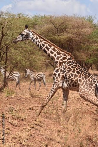 Photo  Masai giraffe in Serengeti National Park, Tanzania