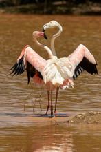 Common Flamingo (Phoenicopterus Roseus), Fuente De Piedra, Malaga