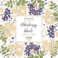 Hand Drawn Background With Elderberry Black. Elderberry Or Sambucus Branches With Flowers And Berries. Vector Illustration.