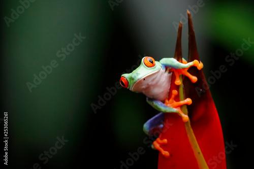 Photo Red tree frog -  Agalychnis callidryas