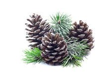 Snowy Spruce Branch With Fir Cones Isolated On White Background.