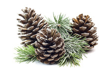 Snowy Spruce Branch With Fir C...