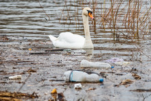Swan Swims In Contaminated Wat...