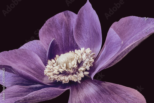 Cadres-photo bureau Fleur Fine art still life floral macro of the inner of a single isolated wide open red violet anemone blossom with detailed texture on black background in vintage painting style