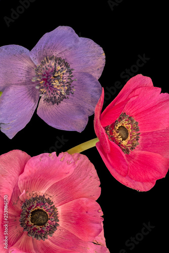 Valokuva  Fine art still life floral macro of an  isolated trio of wide open bright colore