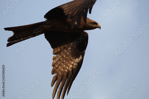 The mighty black kite eagle circling in the sky Canvas Print
