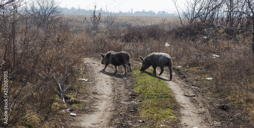 A couple, a family of wild boars freely walking on the outskirts of the industrial district of the city. Wild boar in the wild